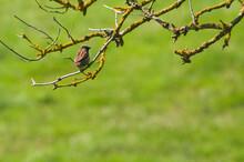 Pequeño Gorrión Solitario Posado Sobre Unas Ramas Cubiertas De Líquenes Con Un Fondo Verde Desenfocado De Hierba En Un Día Soleado De Verano.