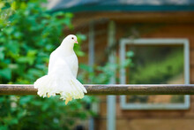 White Dove Sits On A Branch Against The Background Of A Wooden House. Fantail White Dove, Pigeon