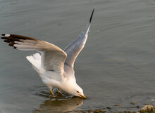 Gull Drinking Water From Lake Downsview