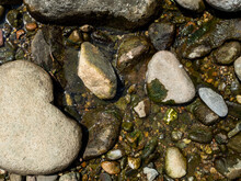 River Stones Texture With Some Green Algae