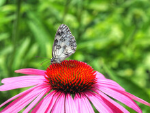 Schachbrettfalter Auf Echinacea Purpurea