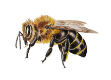 Watercolor Illustration Of A Bee On A White Background. Closeup. Template. Hand Drawn.