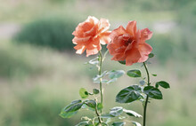 Beautiful Blooming Orange Rose In The Summer Garden. Floribunda Rose Easy Does It. Close-up.