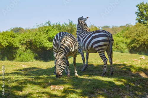 Beautiful zebras eating in the pasture.