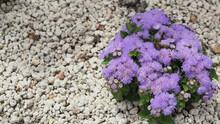 Floss Flower Close Up In Garden At Hokkaido Japan.