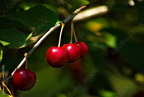 Czerwone owoce wiśni . Red cherry fruits .