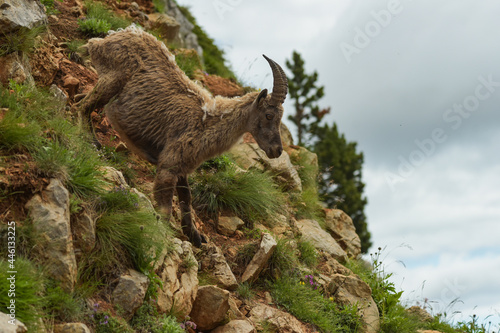 ibex in the french moutains