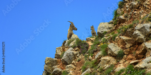 ibex family in the french moutains