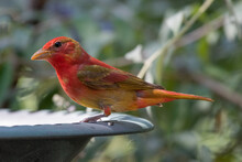 A Colorful Summer Tanager Bird Stopping For A Drink And A Bath.