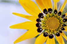 Yellow Gazania Close Up On A Light Background