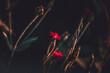 Firletki piękne kwiaty na ciemny tle
