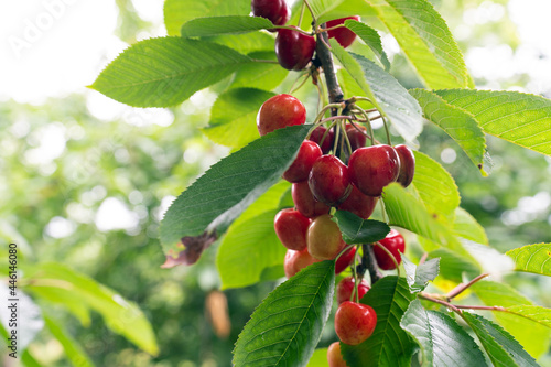 Cherry tree with ripe cherries in the garden Fototapet
