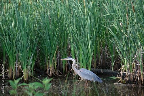 Fototapeta premium great blue heron in the grass
