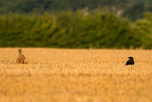 Hare And A Crow In A Corn Field Social Distancing