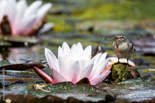Fototapeta premium Grey wagtail on the lily pad flowers