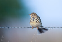Meadow Pipit On Barbed Wire Fence