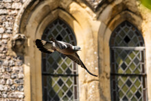 Wood Pigeon Flying Past Stained Windows Of A Church