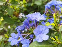 Blue Jasmine (Plumbago Auriculata) Celestina, Blue Plumbago, Sky Jasmine.