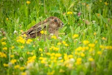 A Brown Hare With Long Ears Hiding In Fresh Green Grass And Yellow Flowers On A Summer Day In A Meadow.