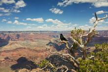 Raven Enjoys View On Grand Canyon
