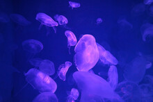 Jellyfish In The Blue Water