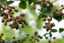 Blackberry Unripe Fruits, Ripening Blackberries On Branch.