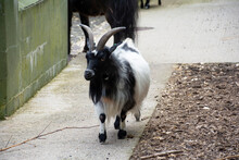 A Black And White Colored African Pygmy Goat Walking Towards Camera.
