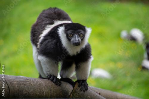Fototapeta premium A White-belted ruffed lemur looking at camera.