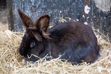 A Black Domestic Rabbit Lying In Hay.