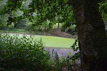 Vermoderter Kleiner See Mit Grüner Oberfläche Dank Algen, Im Hintergrund Bäume Und Pflanzen