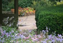 Ageratum Flowers And Garden Path By A Evergreen Hedge