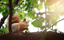 A Squirrel On A Branch Eats An Apricot