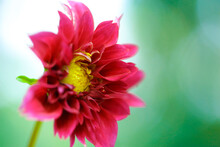 Close Up Of Pink Dahlia