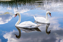 A Pair Of Mute Swans On The Snipe Pool At The Coombe Hill Canal And Meadows Nature Reserve, Coombe Hill, Gloucestershire UK
