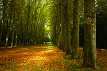 Unpaved Roads Covered With Yellow Leaves Amid Dense Trees In The Park