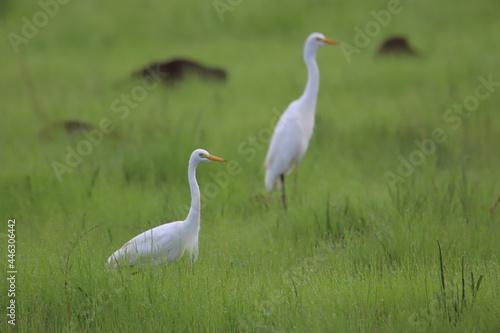 Fototapeta premium herons in the grass