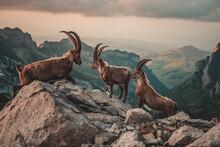 Steinböcke In Den Schweizer Alpen