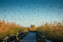 Flock Of Starlings Flying Over A Wooden Path In Some Wetlands On The Catalan Coast. Blue Sky Sunset And Golden Light On The Coastal Scrub