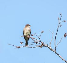 An Eastern Phoebe Flycatcher Bird ( Sayornis Phoebe ) Bird On A Branch