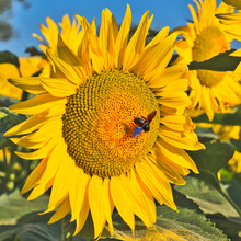 Single Bright Yellow Sunflower With  Disk Floret Beginning To Turn A Golden Orange. A Large Carpenter Bee In Flight . Pollen Dust Scattered On A Leaf