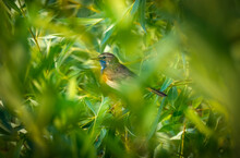 The Hidden Male Bluethroat Bird Is Barely Visible Through The Branches Of The Shrub