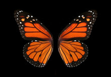 Colorful Monarch Butterfly Wings Isolated On Black