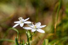 Garden Star-of-betlehem ( Grass Lily) Flower In A Beautiful Spring Moody Atmoshphere