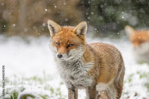 Female fox in the snow