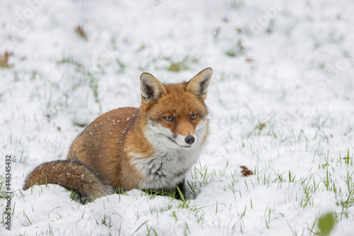 Male fox in the snow