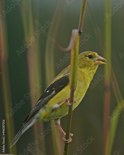Fototapeta premium American gold finch a summer friend on the North American prairie