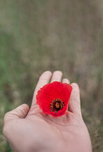 Left Hand Holding Poppy Flower With Blurred Background