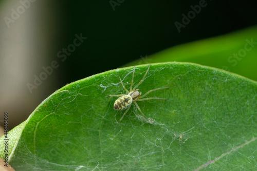 Canvas Print Green Cribellate Spider, Nigma walckenaeri, Satara, Maharashtra, India
