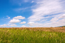 Green Meadow Full Of Long Tall Grass With Golden Grains And Florets Against Blue Sky In Early Summer - Seasonal Nature Background