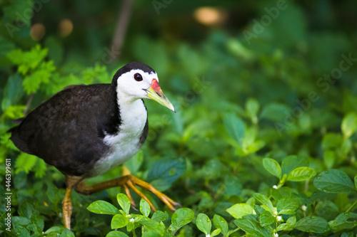 Fototapeta premium White-breasted waterhen